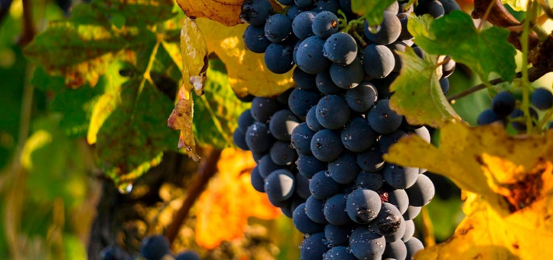 Tutela vini Oltrepo Pavese